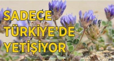 Yeni keşfedildi! Sadece Türkiye'de yetişiyor